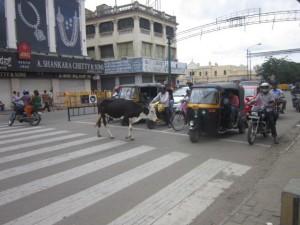 krava na prechodu